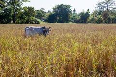Stier von Thailand Stockbild