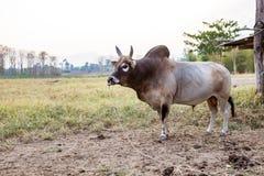 Stier von Thailand Lizenzfreie Stockbilder
