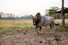 Stier von Thailand Lizenzfreies Stockbild