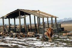 Stier vor Stall Stockbild