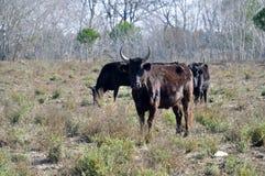 Stiere in Camargue stockfoto