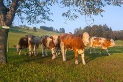 Stiere in den österreichischen Alpen in der goldenen Stunde Lizenzfreies Stockfoto