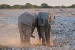 Stiere des afrikanischen Elefanten, die einen Kampf, etosha nationalpark spielen stockfoto