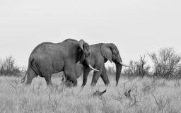 Stiere des afrikanischen Elefanten lizenzfreie stockbilder