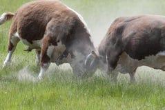 Stiere Fighting Stockfotos