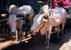 Stiere im Fahrzeug Stockfoto