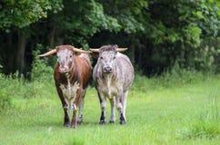 Stiere im Regen lizenzfreies stockfoto