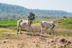 Stiere oder Ochsen lizenzfreies stockfoto