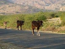Stiere und eine Kuh lizenzfreie stockfotografie