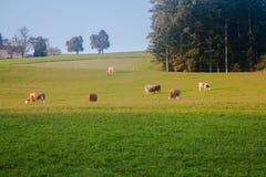 Stiere und Kühe in den österreichischen Alpen in der goldenen Stunde Lizenzfreie Stockfotos