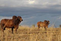 Stiere unter einem Sturm lizenzfreie stockfotos