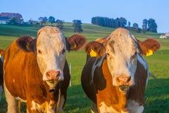 Stiere, welche die Kamera in den österreichischen Alpen in der goldenen Stunde betrachten Lizenzfreies Stockbild