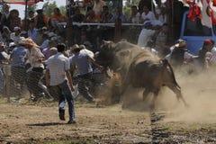 Stieregevecht Stock Afbeeldingen