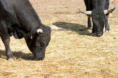Stieren Stock Afbeeldingen