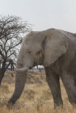 Stieren Afrikaanse Olifant in het Nationale Park van Etosha, Namibië Royalty-vrije Stock Foto's