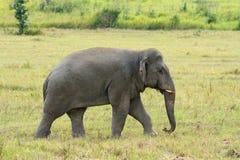 Stieren Aziatische Olifant (Elephas-maximus) royalty-vrije stock foto