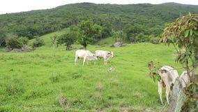 Stieren bij het gebied stock videobeelden