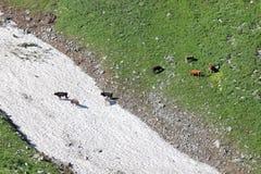 Stieren die op Alpiene weide dichtbij sneeuwlawines weiden stock foto