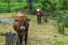 Stieren die op een landbouwbedrijf rusten royalty-vrije stock foto's