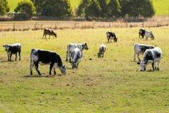 Stieren, kalveren in wit met zwarte vlek bij huid het weiden is weggeschoten die Royalty-vrije Stock Afbeeldingen