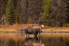 Stierenamerikaanse elanden Stock Afbeelding