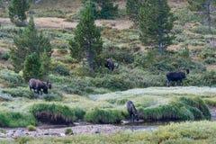 Stierenamerikaanse elanden Stock Foto