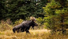 Stierenamerikaanse elanden die uit Rivier beklimmen Royalty-vrije Stock Afbeelding