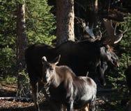 Stierenamerikaanse elanden en kalf Royalty-vrije Stock Fotografie