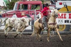 Stierenjacht na cowboy op paard Stock Foto's