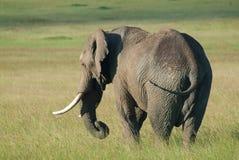 Stierenolifant alleen op Masai Mara, Afrika (Kenia) Stock Afbeelding