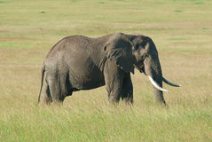 Stierenolifant alleen op Masai Mara, Afrika (Kenia) Stock Foto's