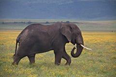 Stierenolifant die door de Krater lopen stock foto