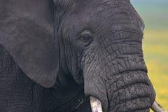 Stierenolifant die en op ons weiden letten royalty-vrije stock afbeelding