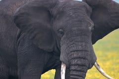 Stierenolifant die zeer dicht wordt royalty-vrije stock foto's