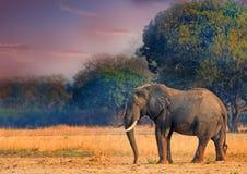 Stierenolifant die zich op de open vlaktes in het Nationale Park van Zuidenluangwa bevinden Royalty-vrije Stock Foto