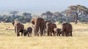 Stierenolifant met een kudde van wijfjes en babys in Amboseli, Kenia stock fotografie