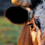 Stierenoog Royalty-vrije Stock Afbeeldingen