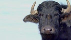 Stierenportret stock videobeelden