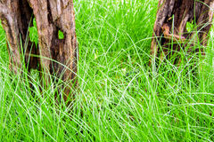 Stiff wood stump and benign grass blade. The stiff wood stump and benign grass blade Stock Image