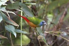 Stift-tailed härliga fåglar för Parrotfinch Erythrura prasina av Thailand Arkivbilder