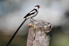 stift tailed whydah Arkivbild