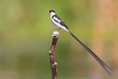 stift tailed whydah Arkivfoto
