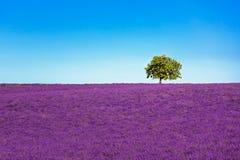 Stigande lavendel och ensamt träd france provence Royaltyfri Fotografi
