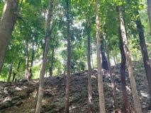 Stigande träd i skogen Fotografering för Bildbyråer