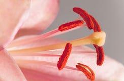 stigma för anthersliljamakro royaltyfria bilder