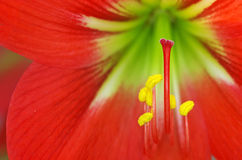Stigma and stamen of flower Royalty Free Stock Photo