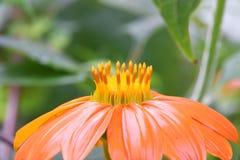 Stigma and stylus of orange coloured forest flower. Details of orange colored forest flower with stigma and stylus Stock Photos
