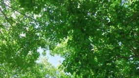 Stijgend kijken door trillende boomluifel verlaat het slingeren in de wind terwijl zacht het spinnen met de zon door de bladeren stock footage