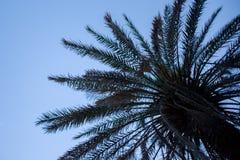 Stijgend Weergeven van Palm onder Blauwe Hemel Bruine Bladvarenbladen en Droge Takken die van de kant dalen Geschubde Schors en D stock foto's