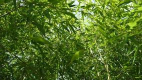 Stijgende mening door dicht gebladerte van Phyllostachys-bamboeinstallaties, 4K stock videobeelden